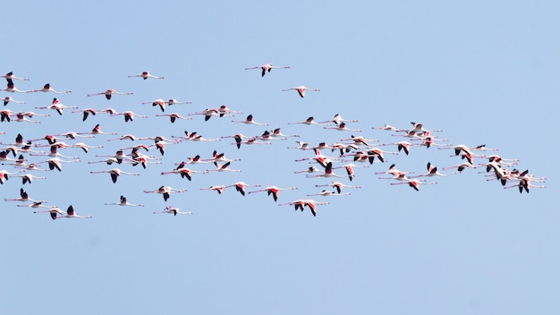 Volée de flamants roses du lagon