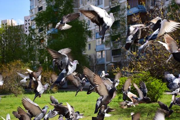 Volée montante de pigeons dans le contexte d'un immeuble de grande hauteur et d'herbe