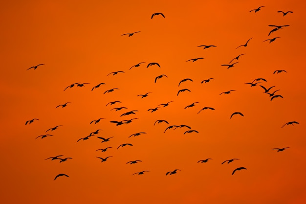 Volée d'oiseaux volant sur ciel silhouette