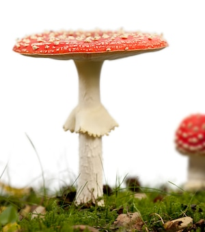 Voler agaric ou voler les champignons amanita, amanita muscaria, ion blanc isolé