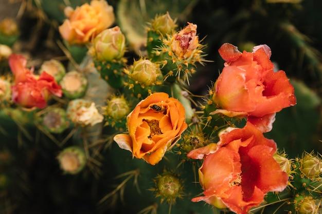 Voler pollinisation sur fleur de figue de barbarie