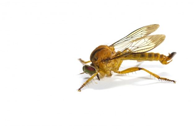 Voleur mouche isolé sur fond blanc