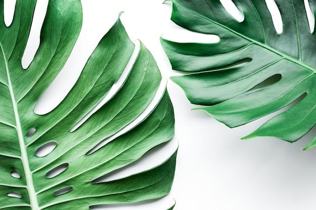 De vraies feuilles de monstera sur blanc, plat