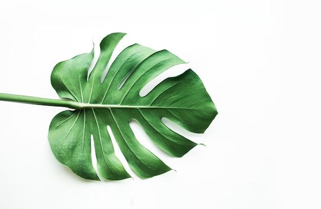 Vraies feuilles de monstera sur blanc, pose à plat