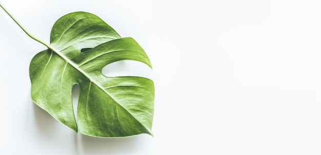 Vraies feuilles tropicales arrière-plans sur blanc.concepts de nature botanique.design plat laïque