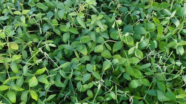 Vue aérienne de dessus des plantes vertes des cultures de soja.
