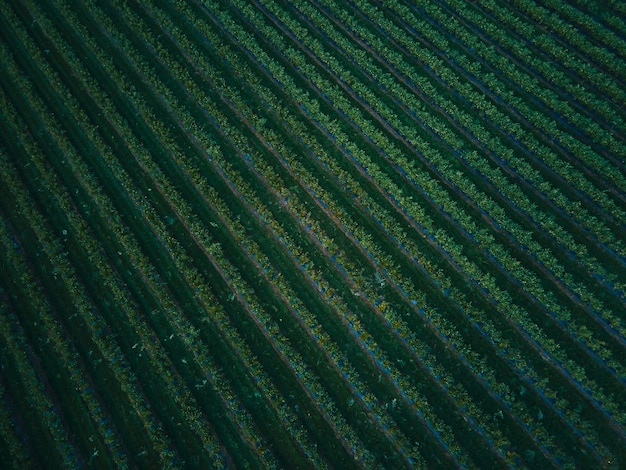Vue aérienne de drone champ de myrtille, mûr biologique. baie bleue accrochée à une branche, bio, alimentation saine, vue de dessus, ferme aux baies