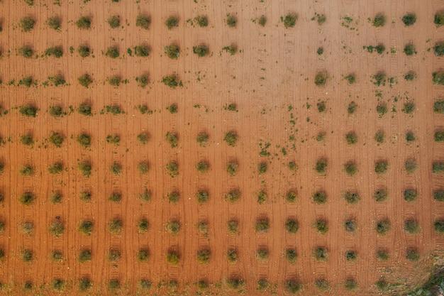 Vue aérienne du champ d'oliviers