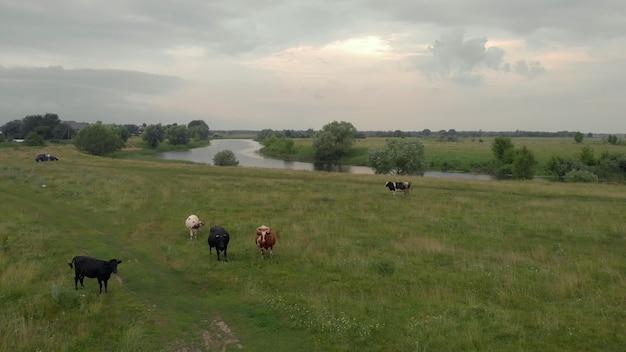 Vue aérienne du troupeau de vaches au pré vert près de la rivière