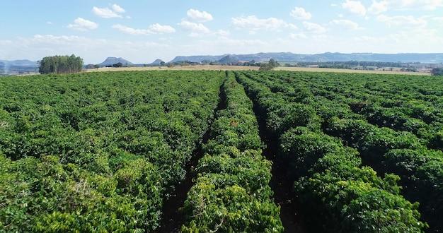 Vue aérienne d'une ferme de café. caféière. la culture du café. 4k.
