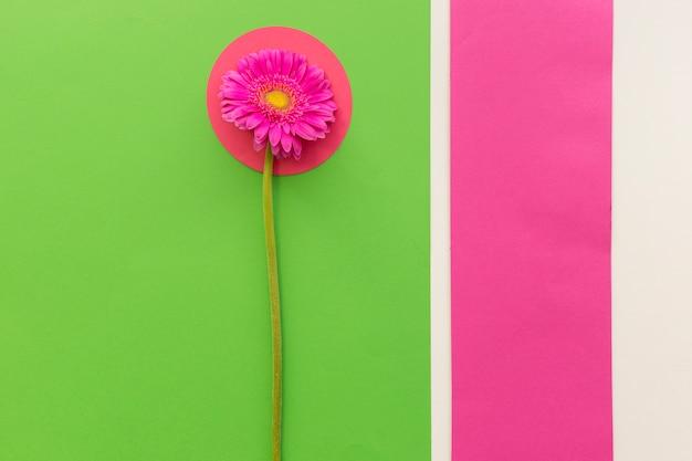 Vue aérienne de la fleur de gerbera rose sur des papiers multicolores