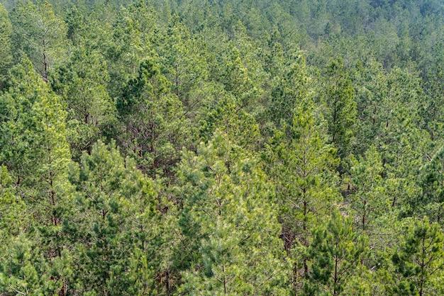 Vue aérienne de la forêt de pins européens par une journée ensoleillée.