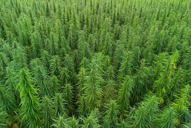 Vue aérienne de grands champs de cannabis marijuana au coucher du soleil
