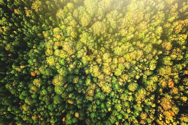 Vue aérienne de haut en bas d'épinettes vert vif et d'arbres d'automne jaunes dans la forêt d'automne.