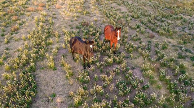 Vue aérienne d'une paire de chevaux au coucher du soleil
