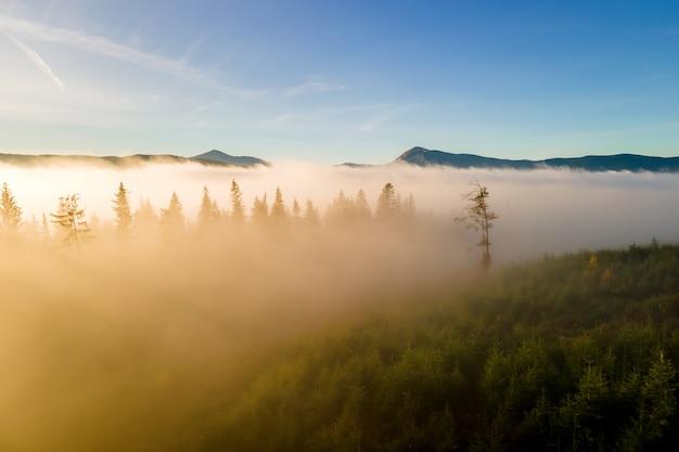 Vue aérienne de pins vert foncé dans la forêt d'épinettes avec des rayons du lever du soleil