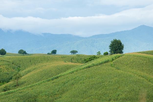 Vue aérienne de la terrasse de maïs. image d'un beau champ de maïs en terrasse