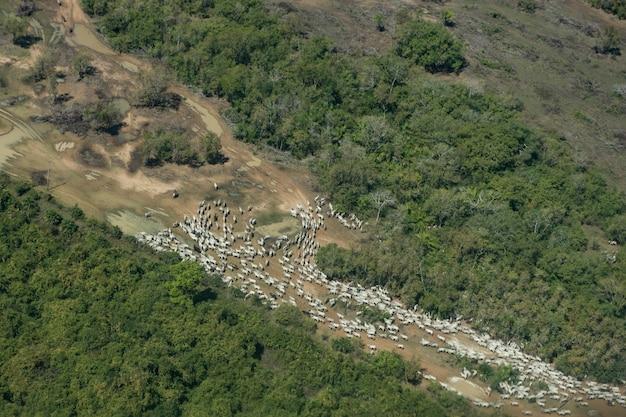 Vue aérienne d'un troupeau dans un chemin de terre des zones humides brésiliennes (pantanal) en saison sèche