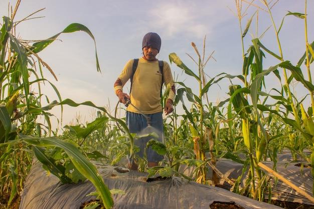 Vue d'un agriculteur au travail pulvérisant le matin une plante de maïs en croissance