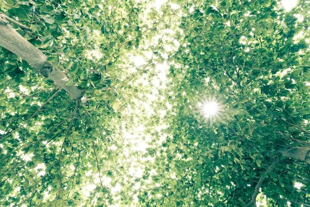Vue de l'ancien et du grand arbre, de la cime aux feuilles vertes.