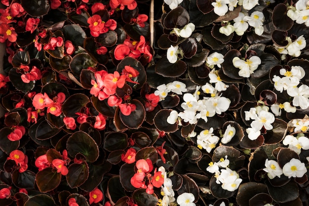 Vue d'angle élevé de fleurs de bégonia rouge et blanc