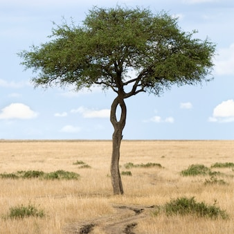 Vue d'un arbre à côté d'un chemin dans une plaine dans la réserve naturelle du masai mara.