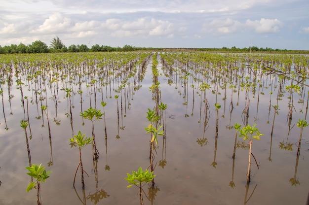 Vue d'arbre de mangrove dans la mer avec ciel de lever du soleil