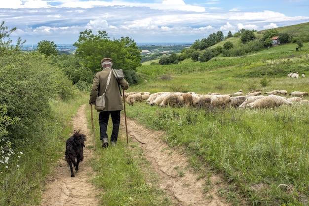 Vue arrière du paysage d'un vieux berger et d'un chien marchant vers ses moutons dans une campagne