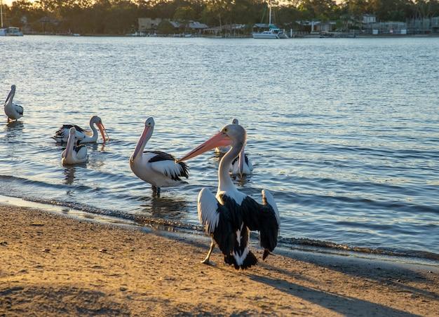 Vue arrière des pélicans sur rivershore au coucher du soleil à noosaville, queensland, australie. concept d'animaux sauvages