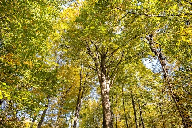 Vue de bas en haut de la forêt d'automne avec des feuilles orange et jaune vif.