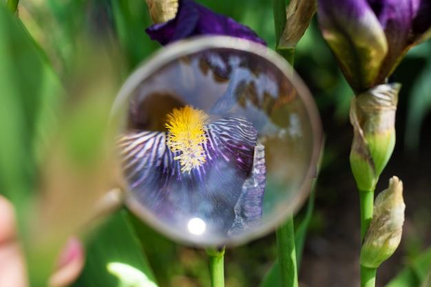 Vue de la belle fleur d'iris en loupe au jardin de printemps