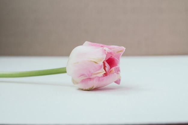 Vue d'une belle tulipe rose