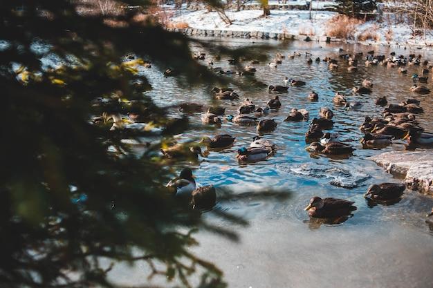 Vue de canards se détendre sur le lac