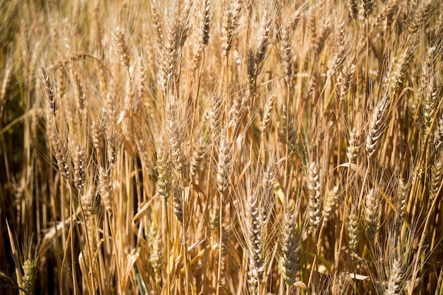 Vue champ de blé