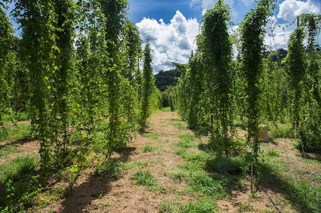 Vue sur champ de houblon vert avec des plantes liées préparées pour la récolte.