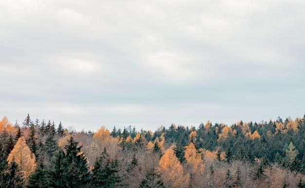 Vue sur la cime des arbres de la forêt mixte de conifères, pologne