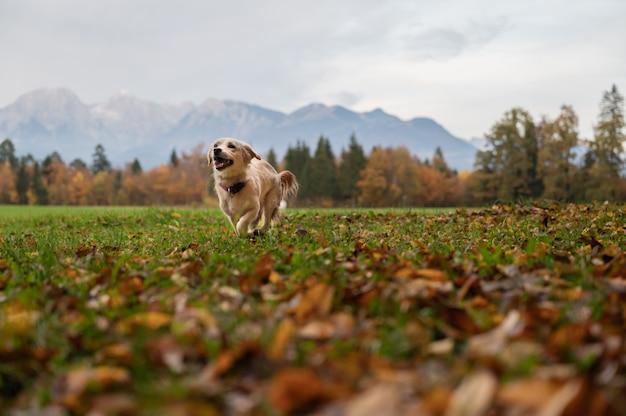Vue en contre-plongée d'un mignon petit chien qui court dans une belle prairie d'automne.