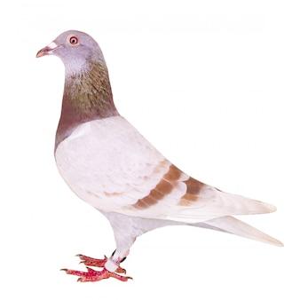 Vue de côté complet du plume de pigeon voyageur isolé farineuse rouge
