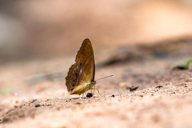 Vue de côté du papillon brun avec un point blanc sur les ailes perchées sur la pierre