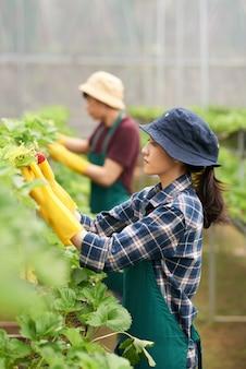 Vue côté, de, femme, cueillette, récolte, fraise, serre, à, elle, collègue, dans, les, fond