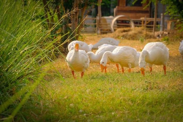Vue de côté d'oie blanche se tenant sur l'herbe verte