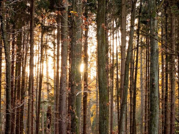Vue sur le coucher du soleil dans une forêt de chênes, pologne