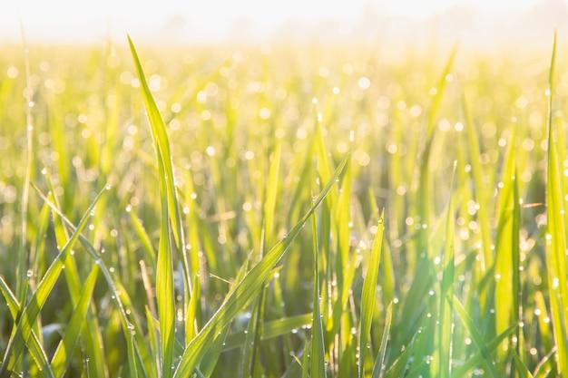Vue sur la croissance du champ de riz au jasmin biologique le matin