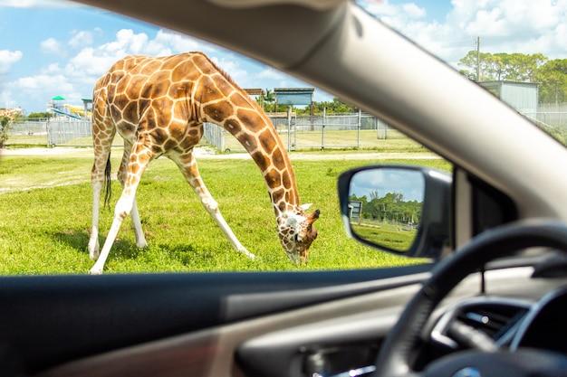 Vue depuis la voiture sur la girafe en voiture à travers un zoo de safari