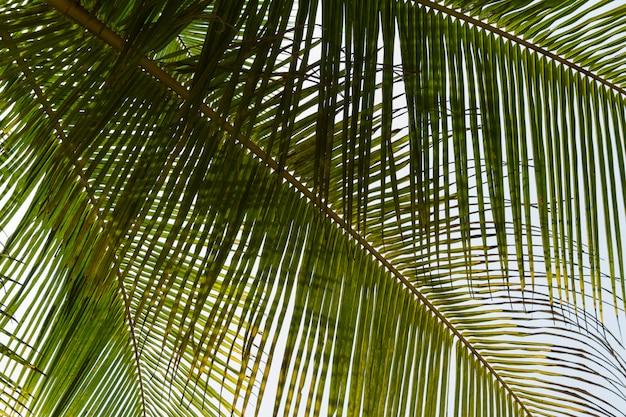 Vue de dessous des feuilles de cocotier