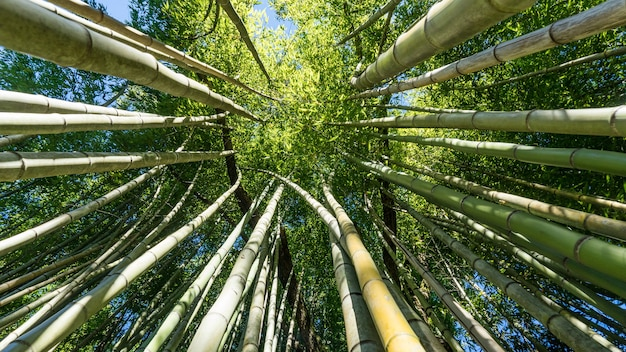 Vue de dessous de la forêt de bambous, arboretum à sukhum, abkhazie.