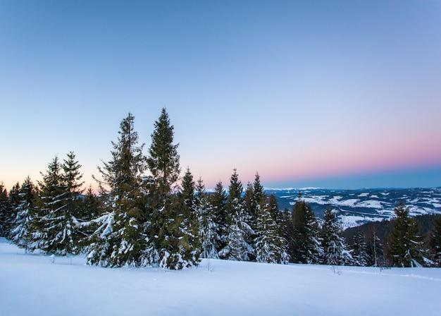 Vue de dessous de grands beaux épinettes majestueuses couvertes de neige se tiennent dans une forêt contre un ciel bleu brumeux couvert d'hiver jour glacial. concept de beauté nature hiver