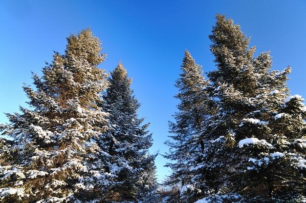 Vue de dessous de grands sapins enneigés chic poussent au milieu d'une colline avec de la neige