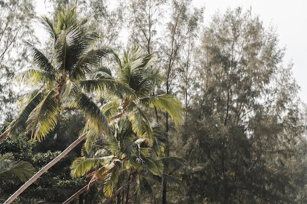 Vue de dessous de haut de cocotiers et de pins avec ciel de nuages.