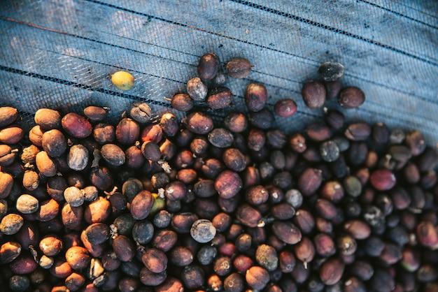 Vue de dessus de baies de café arabica séchées au soleil sur le filet bleu